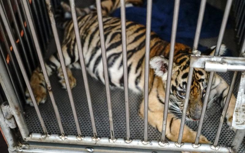 locked tiger